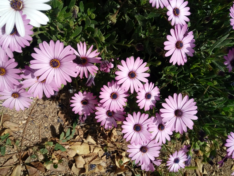 flowers-in-alicante-20190324_114728