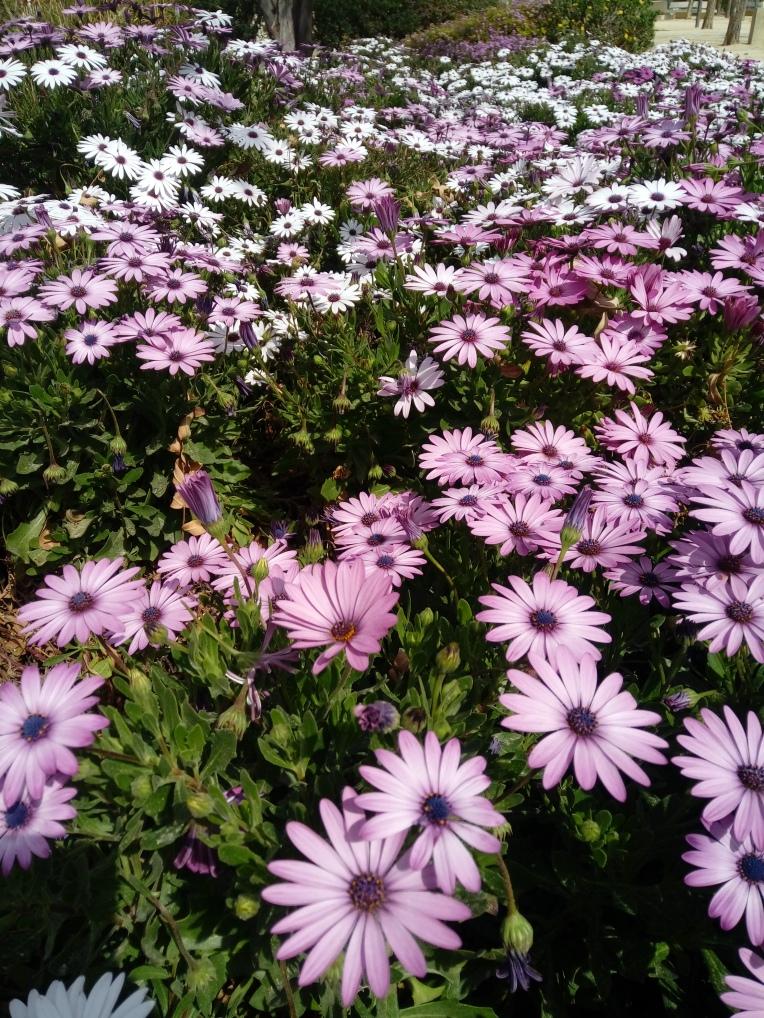 flowers-in-alicante-20190324_114805