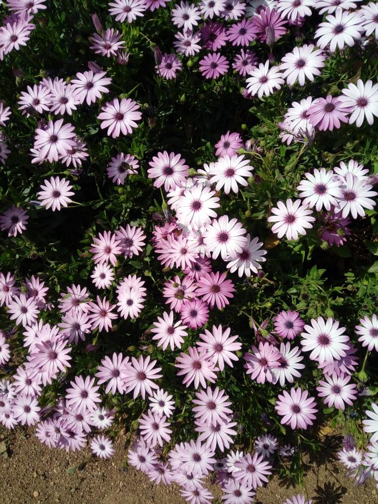 flowers-in-alicante-20190324_114948