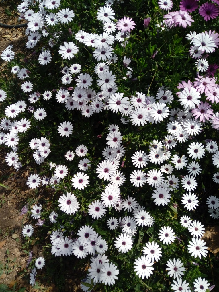 flowers-in-alicante-20190324_115158