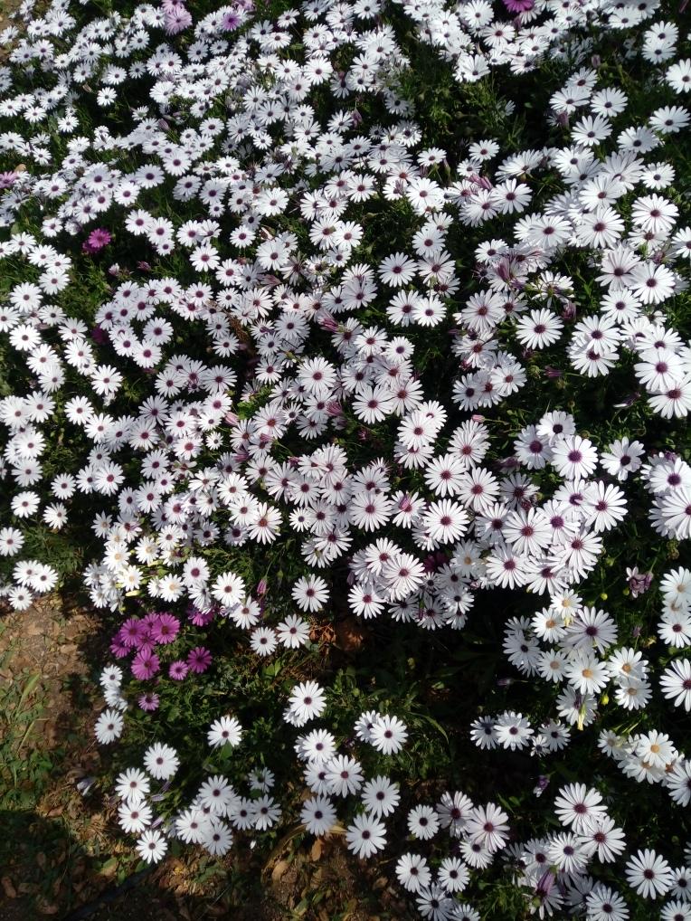 flowers-in-alicante-20190324_115232